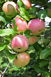 Northern Spy Apple (Malus 'Northern Spy') at Bedner's Farm & Greenhouse
