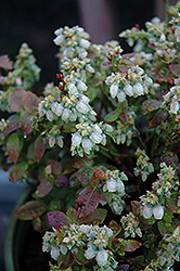Jelly Bean® Blueberry (Vaccinium 'ZF06-179') at Bedner's Farm & Greenhouse