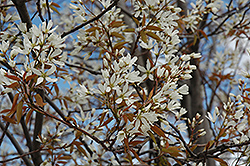 Autumn Brilliance Serviceberry (Amelanchier x grandiflora 'Autumn Brilliance (tree form)') at Bedner's Farm & Greenhouse