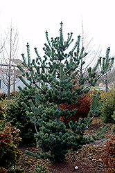 Cleary Japanese White Pine (Pinus parviflora 'Cleary') at Bedner's Farm & Greenhouse