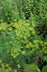 Dill (Anethum graveolens) at Bedner's Farm & Greenhouse