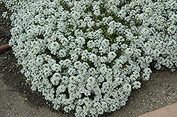 Clear Crystal White Sweet Alyssum (Lobularia maritima 'Clear Crystal White') at Bedner's Farm & Greenhouse
