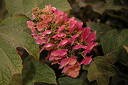 Ruby Slippers Hydrangea (Hydrangea quercifolia 'Ruby Slippers') at Bedner's Farm & Greenhouse