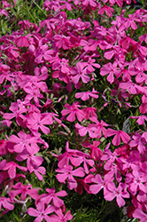 Drummond's Pink Moss Phlox (Phlox subulata 'Drummond's Pink') at Bedner's Farm & Greenhouse