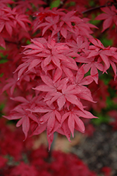 Twombly's Red Sentinel Japanese Maple (Acer palmatum 'Twombly's Red Sentinel') at Bedner's Farm & Greenhouse