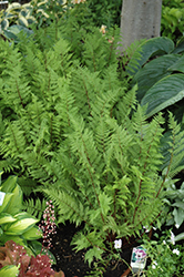 Lady in Red Fern (Athyrium filix-femina 'Lady in Red') at Bedner's Farm & Greenhouse