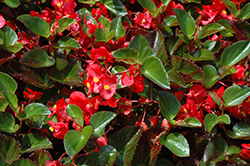 Big® Red Green Leaf Begonia (Begonia 'Big Red Green Leaf') at Bedner's Farm & Greenhouse