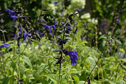 Black And Blue Anise Sage (Salvia guaranitica 'Black And Blue') at Bedner's Farm & Greenhouse