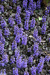 Black Scallop Bugleweed (Ajuga reptans 'Black Scallop') at Bedner's Farm & Greenhouse