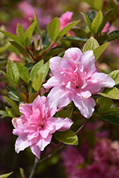 Encore® Autumn Carnation™ Azalea (Rhododendron 'Roblec') at Bedner's Farm & Greenhouse