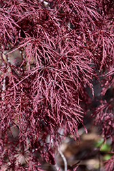 Red Filigree Lace Japanese Maple (Acer palmatum 'Red Filigree Lace') at Bedner's Farm & Greenhouse