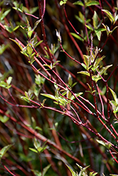 Bailey's Red Twig Dogwood (Cornus sericea 'Baileyi') at Bedner's Farm & Greenhouse
