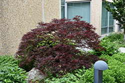 Red Dragon Japanese Maple (Acer palmatum 'Red Dragon') at Bedner's Farm & Greenhouse