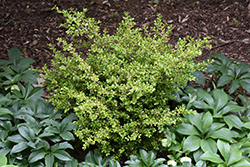 Golden Dream Boxwood (Buxus microphylla 'Peergold') at Bedner's Farm & Greenhouse