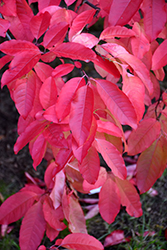 Sourwood (Oxydendron arboreum) at Bedner's Farm & Greenhouse