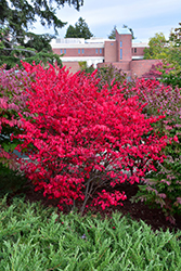 Compact Winged Burning Bush (Euonymus alatus 'Compactus') at Bedner's Farm & Greenhouse
