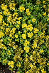 Little Miss Sunshine Stonecrop (Sedum 'Little Miss Sunshine') at Bedner's Farm & Greenhouse