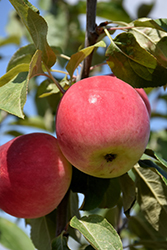 Parkland Apple (Malus 'Parkland') at Bedner's Farm & Greenhouse