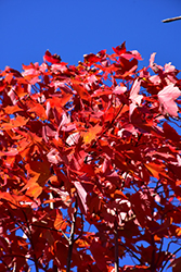 October Glory Red Maple (Acer rubrum 'October Glory') at Bedner's Farm & Greenhouse