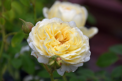 Claire Austin™ Rose (Rosa 'Ausprior') at Bedner's Farm & Greenhouse
