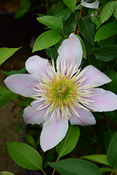 Empress Clematis (Clematis 'Empress') at Bedner's Farm & Greenhouse